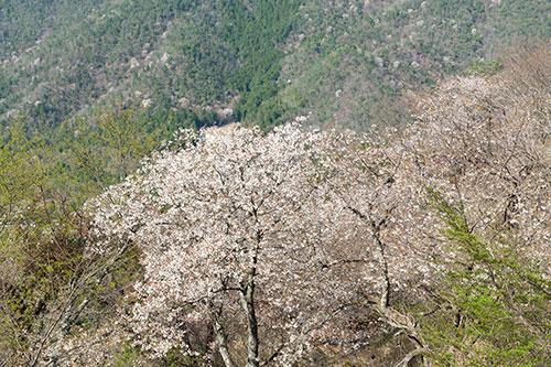立雲峡の桜