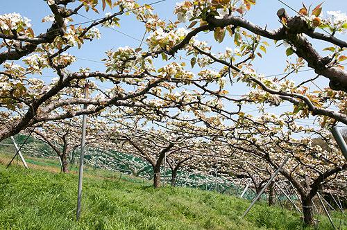 京丹後市久美浜町平田の梨の花