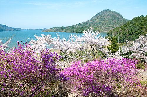 東山公園の桜とツツジ